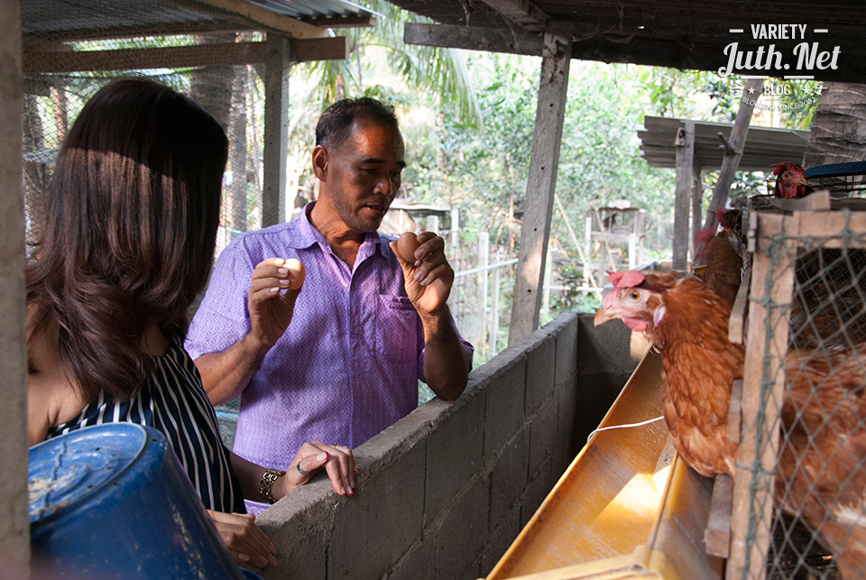 การเลี้ยงไก่หลุม เป็ดไข่หลุม
