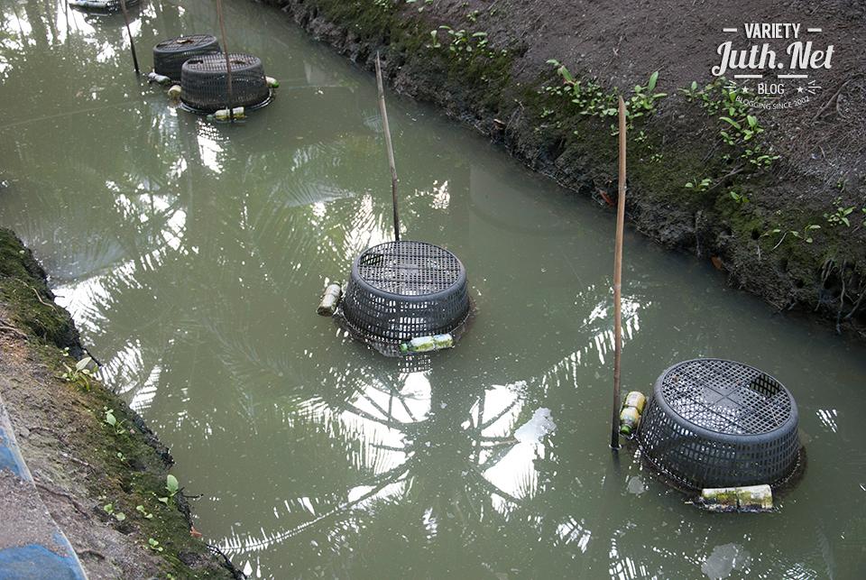 การเลี้ยงกุ้งก้ามกรามขังเดี่ยวในร่องน้ำในสวนมะพร้าว