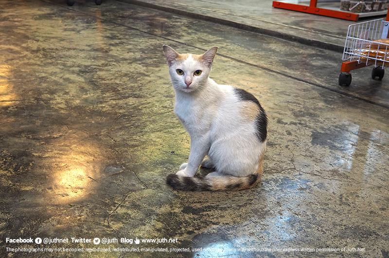 แมวในตลาดฉัตรศิลา