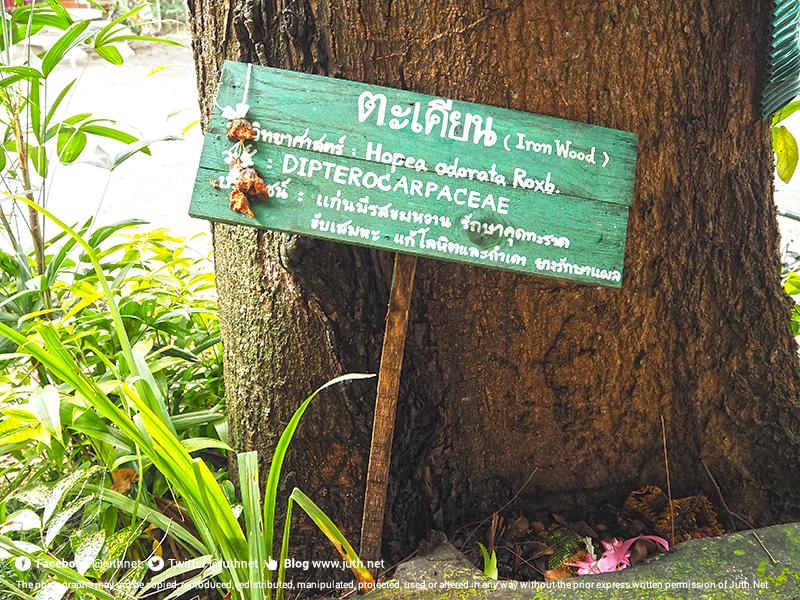 ประโยชน์ของต้นตะเคียน